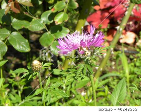 セントーレの一種の桃色の花 40243555