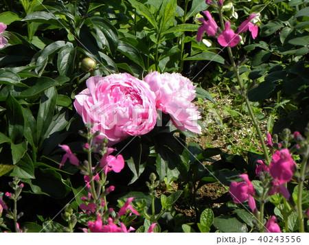 桃色のゴージャスな花シャクヤク 40243556