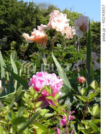 白色のジャーマンアイリスの花と桃色のシャクヤクの花 40243657
