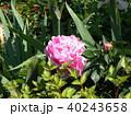 桃色のゴージャスな花シャクヤク 40243658