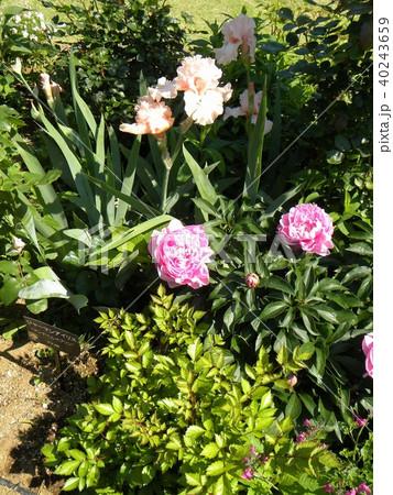 白色のジャーマンアイリスの花と桃色のシャクヤクの花 40243659