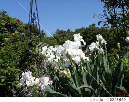 白色のジャーマンアイリスの花 40243660