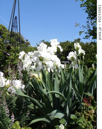 白色のジャーマンアイリスの花 40243661