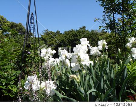 白色のジャーマンアイリスの花 40243662