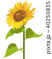 向日葵 ひまわり 花のイラスト 40250835