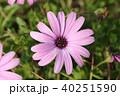 ガザニア キク科 ガザニア属の写真 40251590