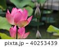 蓮 花 ピンクの写真 40253439