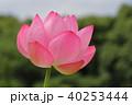 蓮 花 ピンクの写真 40253444