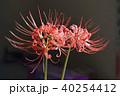 彼岸花 花 植物の写真 40254412