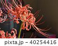 彼岸花 花 植物の写真 40254416