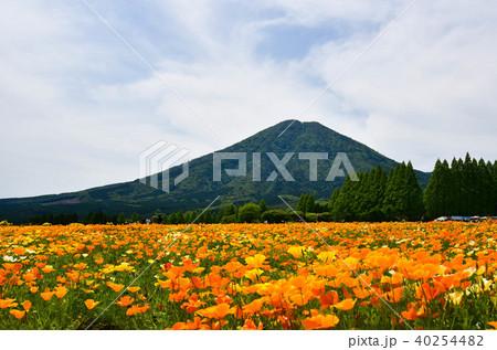 生駒高原のポピー 40254482
