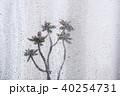 盆栽 梅 植物の写真 40254731