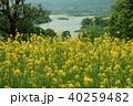 いいやま 菜の花 菜の花公園の写真 40259482
