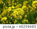 いいやま 菜の花 菜の花公園の写真 40259483