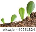 植物 育つ 双葉の写真 40261324