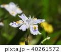 シャガ 射干 花の写真 40261572