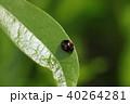 てんとう虫 昆虫 虫の写真 40264281