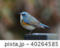 ヒタキ科 オス 瑠璃鶲の写真 40264585