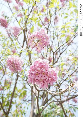 タイの桜、モモイロノウゼン、キダチベニウゼン、ピンクテコマ、チョンプー・パンティップ 40265442