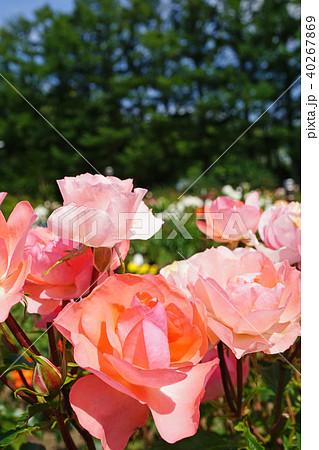蛍光色のような美しいサーモンピンクのバラ 40267869