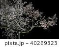 夜桜 春 桜の写真 40269323
