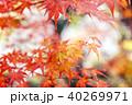 楓 カエデ 紅葉の写真 40269971