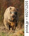 動物 野生動物 イノシシの写真 40271205