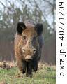 動物 野生動物 イノシシの写真 40271209