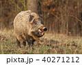 動物 野生動物 イノシシの写真 40271212