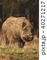 動物 野生動物 イノシシの写真 40271217