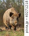 動物 野生動物 イノシシの写真 40271218