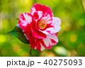 椿 花 岩根絞の写真 40275093