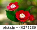 椿 花 卜伴の写真 40275289