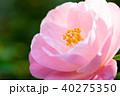 椿 花 椿山の写真 40275350