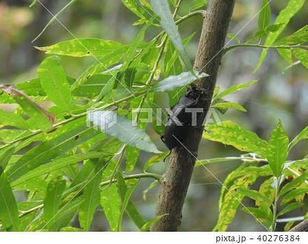 ヤナギの木とヒメオオクワガタの雄 ( 2017年秋 岐阜県飛騨地方 ) 40276384