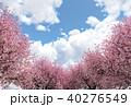桜 青空 春のイラスト 40276549