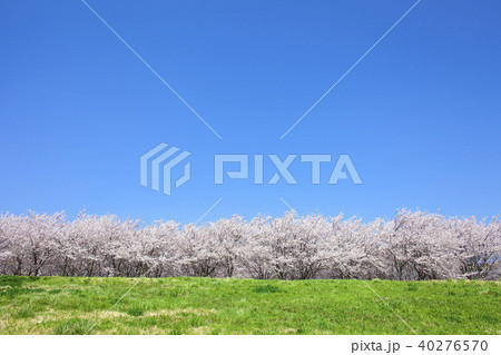 桜の木と草原 40276570