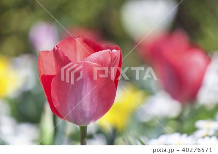 チューリップの花 40276571