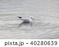 ユリカモメ (百合鴎) その28。 Black headed gull 40280639