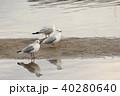 ユリカモメ (百合鴎) その29。 Black headed gull 40280640