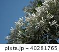 なんじゃもんじゃの花 40281765