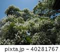 なんじゃもんじゃの花 40281767