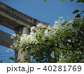 なんじゃもんじゃの花 40281769