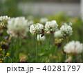 シロツメクサとミツバチ 40281797