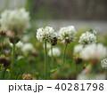 シロツメクサとミツバチ 40281798