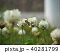 シロツメクサとミツバチ 40281799