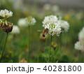 シロツメクサとミツバチ 40281800