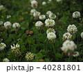 シロツメクサとミツバチ 40281801