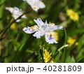 シャガ 射干 花の写真 40281809