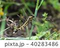 トンボ ムギワラトンボ シオカラトンボの写真 40283486